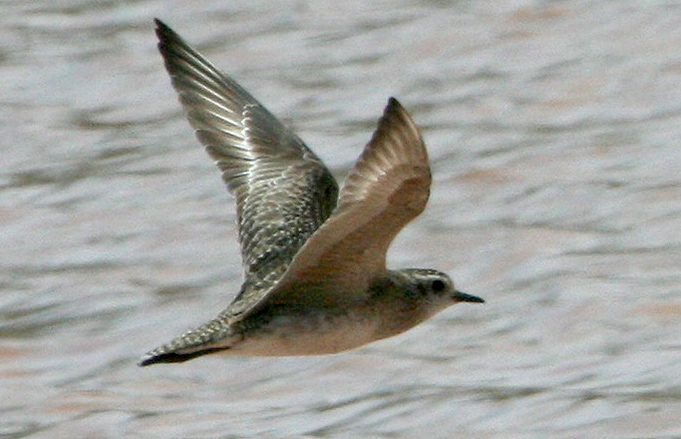 American golden plover and legs that do not extend beyond the tail in flight the call of this bird was also typical of american golden plover not the rising call of pacific freerunsca Images
