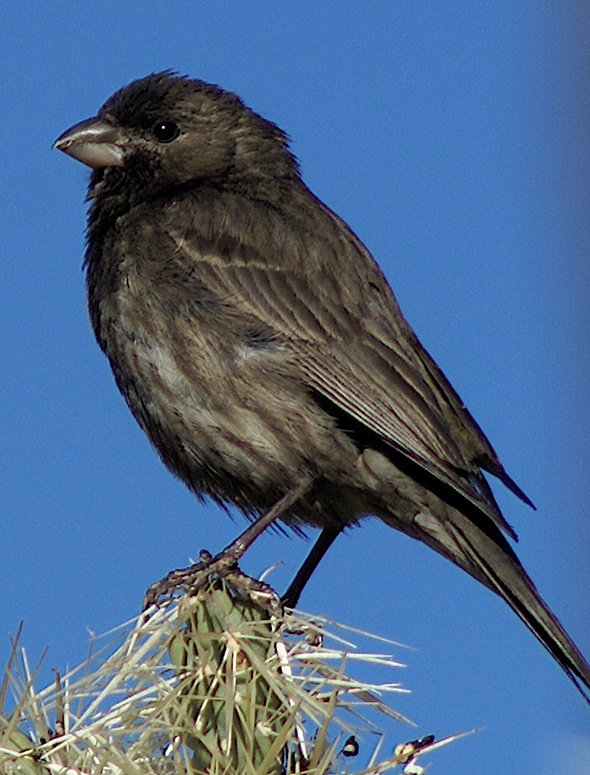 Melanistic House Finch