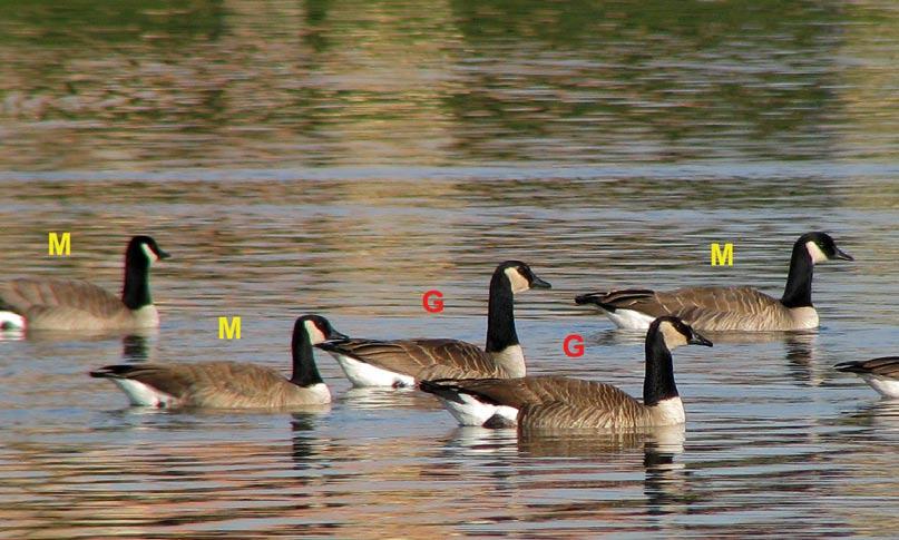 canada goose name origin