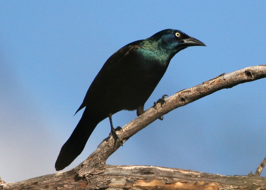 common grackle female. Common Grackle is still a
