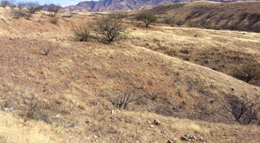 January 2014 Botteri S Sparrow Surveys And Habitat